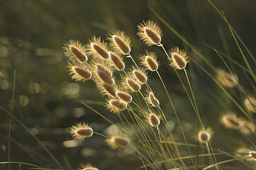 Several Stems Of Long Grass With Seed Heads Clustered Together