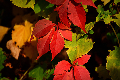 Close-up Of Red Autumn Leaves Against Green And Yellow Leaves