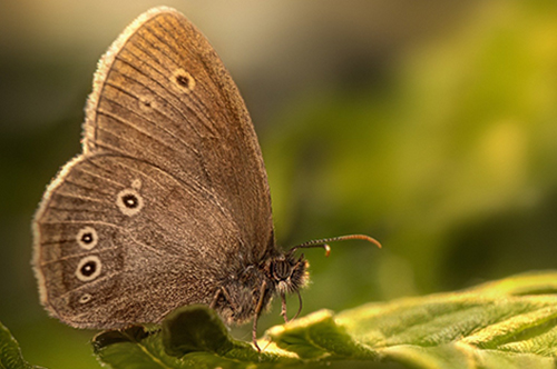 Brown Butterfly With Wings Closed Perched On Edge Of Green Leaf In The Sun